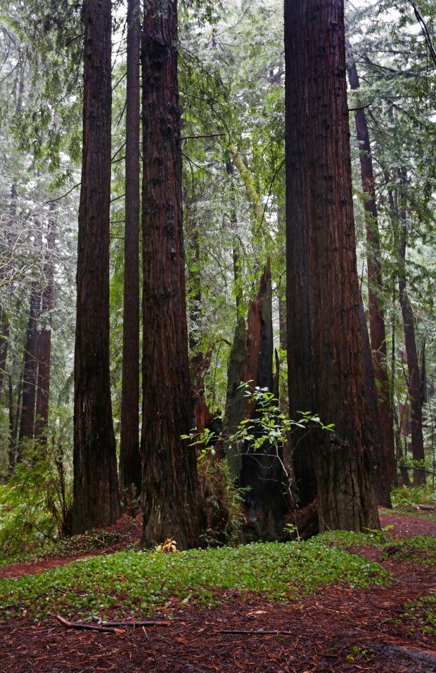Redwood groves are just a short walk off Highway 128 in the Navarro River Redwoods State Park in Elk, Calif., on Thursday, Dec. 15, 2016. (Laura A. Oda/Bay Area News Group)