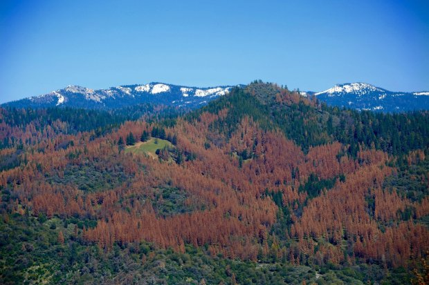 Courtesy U.S. Forest Service This swath of red trees is an indicator of trees dying to to an infestation of the western bark beetle.
