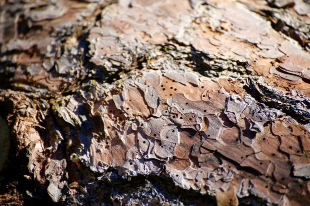 Courtesy U.S. Forest Service — These tiny holes are borded into Ponderosa pine trees by the western bark beetle, where the tiny beetle feasts on the sugary phoelm beneath the bark of the tree, eventually killing the tree. Researchers say the ongoing drought is making it easier for the tiny beetle to breed, grow its swarm and inundate whole swaths of the Ponderosa pine that make up the central and southern Sierra Nevada pine forests.