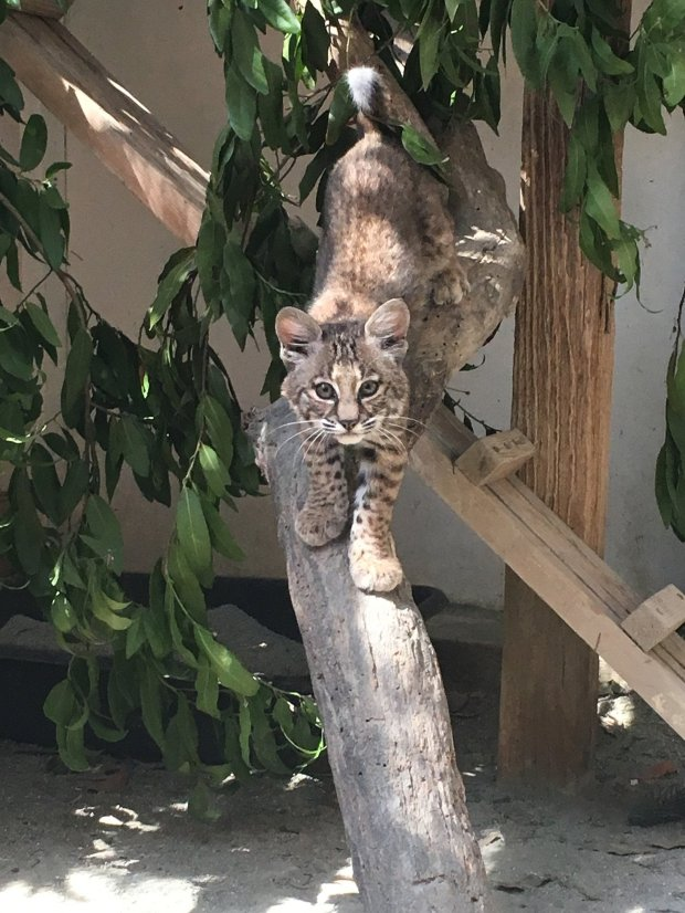 This is how El Gato the orphaned bobcat from Los Gatos looked in September--a growing boy who eats up to three rats a day. ( courtesy of Colleen Grzan)