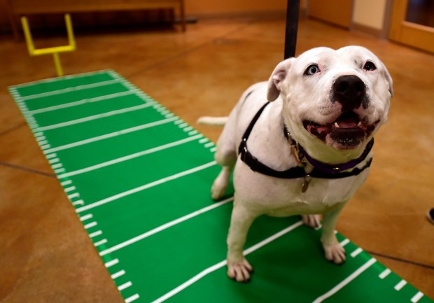 Snuffaluffagus, a 3-year-old American Staffordshire terrier mix, is an ARF dog participating in Supper Bowl I. (Jose Carlos Fajardo/Bay Area News Group)