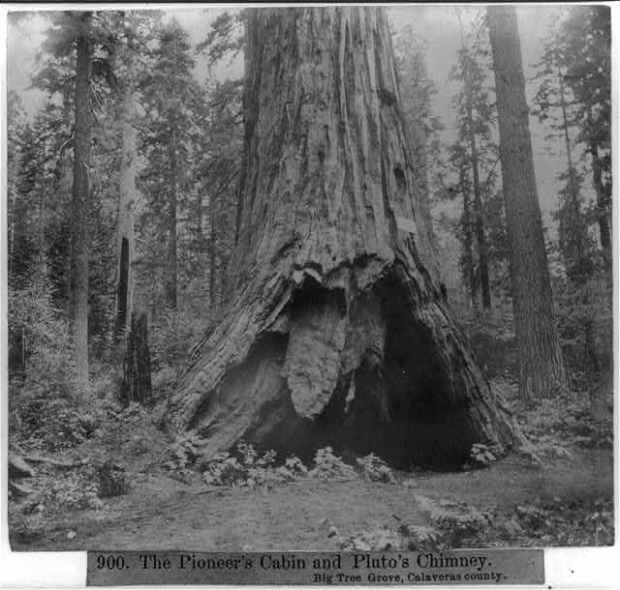 pioneers cabin tree