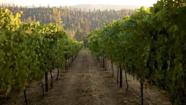 The estate vineyard at Groveland's Yosemite Cellars is the only vineyard inthis part of the Sierra Foothills. (Photo: Will Feffer)