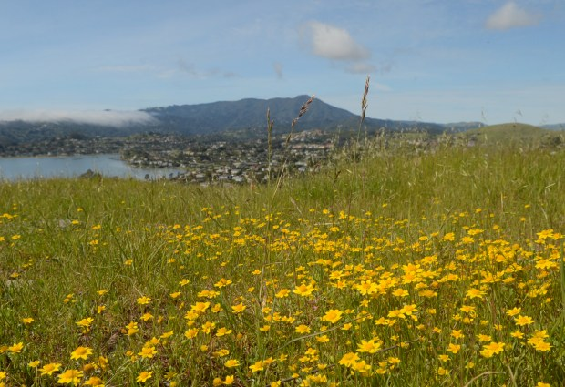 Wildflowers boom in the Middle Ridge Open Space in Tiburon, Calif. on Thursday, March 16, 2017. (Alan Dep/Marin Independent Journal)