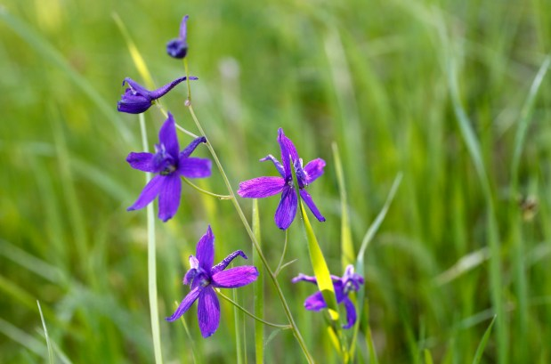 Blue larkspurs bloom on Old Stage Road at Edgewood County Park and Natural Preserve in Redwood City, Calif., on Tuesday, March 28, 2017. The drenching winter rains could see a banner year for wildflowers in the Bay Area. (Gary Reyes/Bay Area News Group)
