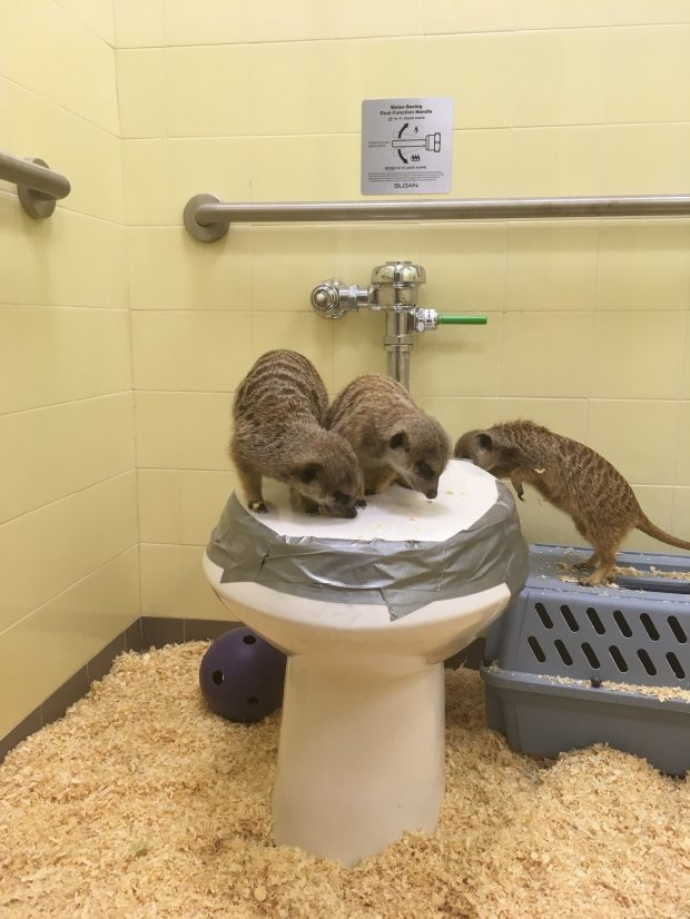For nearly a month, six meerkats, African members of the mongoose family,had to be moved to a bathroom in a veterinary clinic at Happy Hollow Zoo by zookeepers when the Lower Zoo area was damaged in waters nearly four feet deep during the Feb. 21 Coyote Creek Flood. The meerkats are now back in their regular exhibit. (Photo by Emma Trollman)