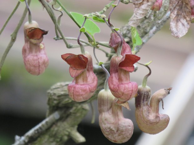 Pipevine (Aristolochia californica) is not only a beautiful plant in yourgarden, it also attracts pollinators and other wildlife. (Courtesy of Patrice Hanlon)