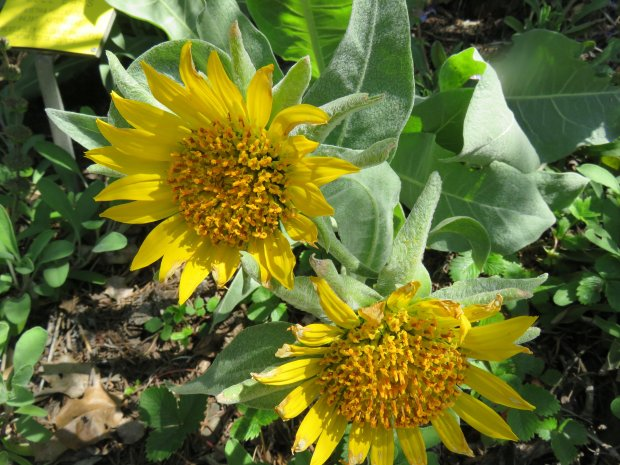 Gray Mule's Ears, (wyethia helenioides) is a wildflower that has large,daisylike flowers lasting about three months each spring. (Courtesy of Patrice Hanlon)