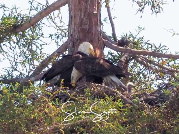 Courtesy Stan Szeto — A pair of bald eagles nurture their chick in a nest near Curtner Elementary School in Milpitas, Calif. The chick is visible at lower right in the nest. (NOTE: Do not crop out the photographer's watermark at the bottom of the photo. That is part of our agreement to use his image./MM)