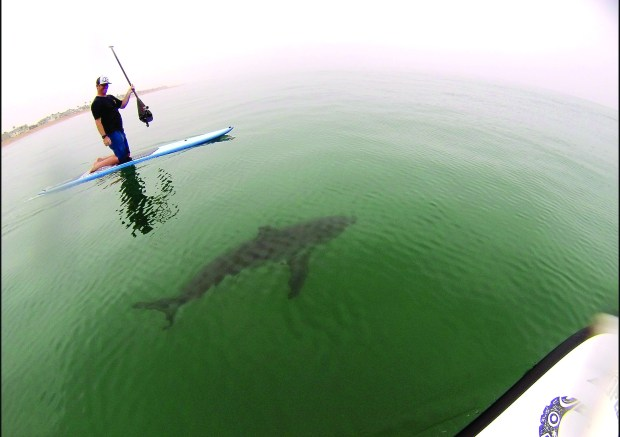 Courtney Hemerick encounters a juvenile great white sharks off the coast of Huntington Beach while paddle boarding in 2015.