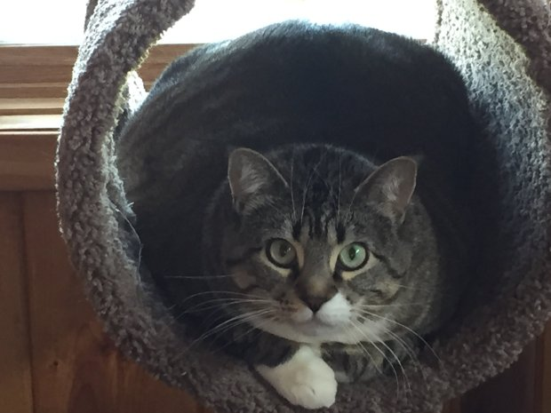 The rotund kitty, incongruously named Mini, barely fits in her kitty junglegym. (Angela Hill/Staff)