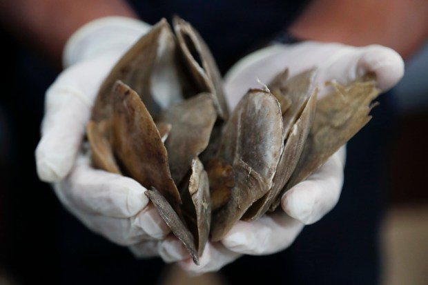 Seized pangolin scales are shown by a Malaysian customs official, May 8, 2017.  (AP Photo/Vincent Thian)