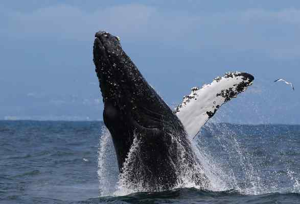 A humpback whale breaches in the Monterey Bay in July 2016. An April 28 executive order by President Trump, focused on opening new waters to oil drilling, also targets a NOAA memo on the effect of manmade sound on marine mammals, such as whales. (Jodi Frediani — Jodi Frediani Photography)