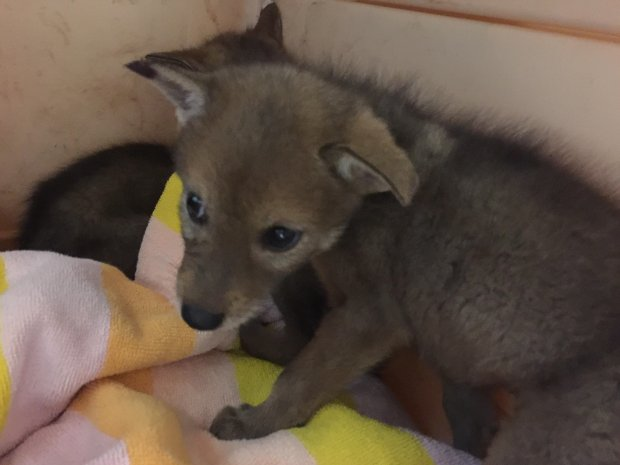 Five young coyotes were orphaned when their mother was struck andkilled, is being cared for by Wildlife Center of Silicon Valley. (Courtesy of the Wildlife Center of Silicon Valley)