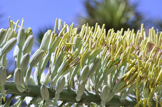 The blooms on the Agave xylonacantha give it an other worldly appearancewith purple, pollen-bearing anthers extending beyond the mouth of the flower. (Courtesy of Brian Kemble)