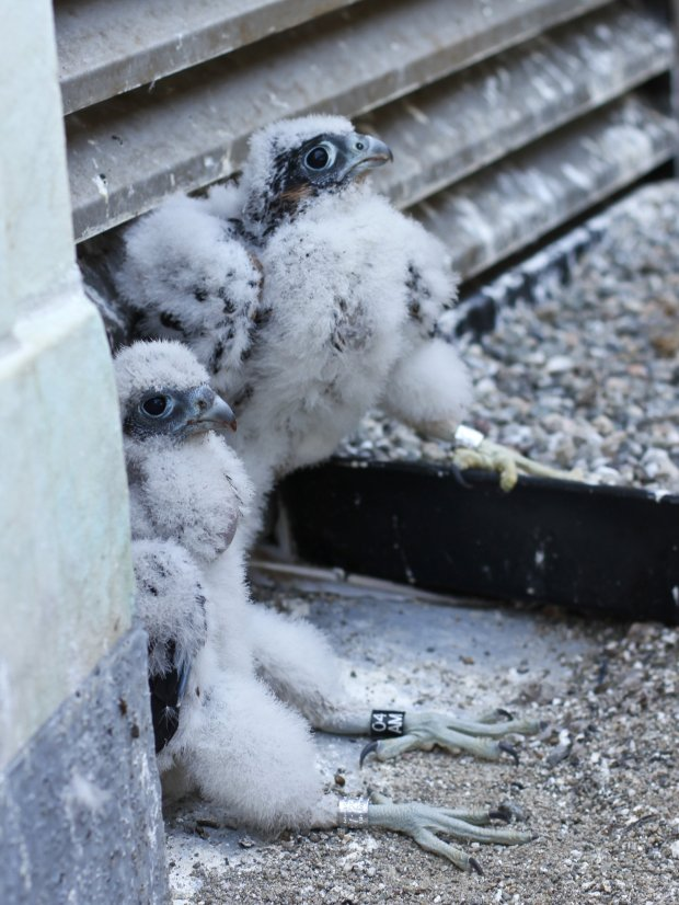 "Bird experts expected a pair of baby peregrine falcons born on UCBerkeley's iconic Campanile to fly for the first time in early July, inspiring a nearly round-the-clock ""fledge watch"" on the ground below. (Courtesy of Mary Malec)"