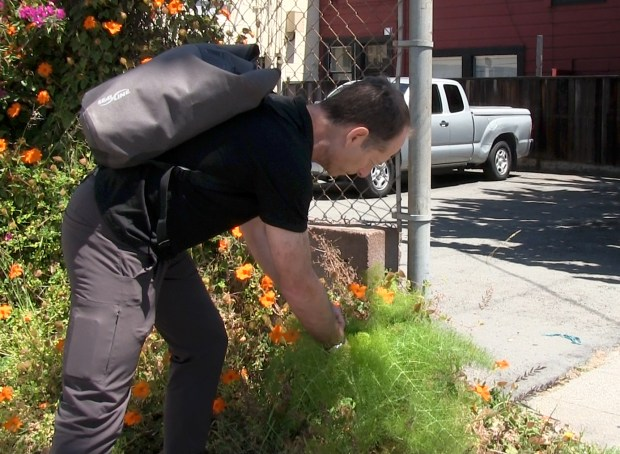 UC Berkeley professor Philip Stark picks up pineapple weed, also known as wild chamomile, around the streets of downtown Berkeley. (Courtesy of Teresa L. Carey)