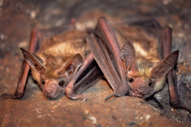 Pallid bats visited an Antioch backyard recently. The bats are strugglingwith population declines and there are very few known colonies in the Bay Area. (Courtesy of Gail Hansen)