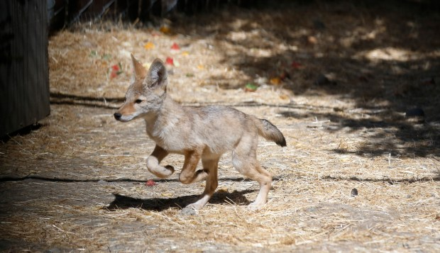 A juvenile coyote runs around in a pen at the Wildlife Center of Silicon Valley on Thursday, July 6, 2017, in San Jose, Calif. (Jim Gensheimer/Bay Area News Group)