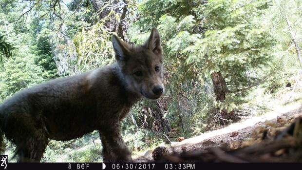 wolf-61
