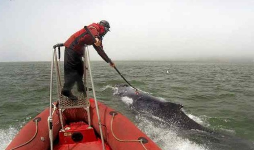 James Fahlbusch, a scientist with Cascadia Research, uses a pole to attach a data recorder on a humpback whale near the Golden Gate Bridge. Researchers say the whales are not diving deep, which makes them vulnerable to being struck by ships. (John Calambokidis/Cascadia Research