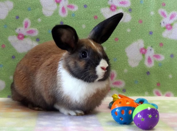 'Dali' will be avaiable for adoption at Sunday's Rabbit Haven adoption event at Pet Pals in Soquel. (Rabbit Haven -- Contributed)