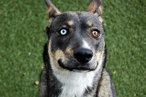 Zoe is a 5 -year-old Husky/German Shepherd mix. She's great with kids, andgood with cats and dogs. Her adoption number is A124000. The shelter's featured pets, and many other animals, are available from Antioch Animal Services, 300 L St. The center is open from 10 a.m. to 5 p.m. Tuesday, Wednesday, Thursday; 10 a.m. to 2 p.m. Friday; and 10 a.m. to 5 p.m. Saturday. All of the pets from the center can be viewed at www.shelterme.com. Call 925-779-6989 . COURTESY CAT COTTLE
