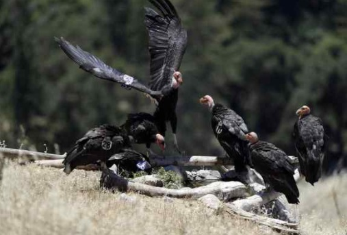 In this Wednesday photo, California condors huddle around a watering hole in the Ventana Wilderness east of Big Sur Three decades after being pushed to the brink of extinction, the California condor is staging an impressive comeback, thanks to captive-breeding programs and reduced use of lead ammunition near their feeding grounds. (Marcio Jose Sanchez — The Associated Press)