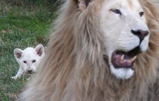 11 weeks old White Lion cub looks behind its father Aga in their enclosure at a private zoo in Dvorec village, Czech Republic, on July 18, 2017. The animals, four females and a male, were born on 04 May 2017. Quintuplets of white lions are extremely rare in one litter because usually it is not more than four. According to zoo's director Viktor Ambroz, they are the first white lion cubs in history of Czech and Slovak zoos. / AFP PHOTO / Michal Cizek (Photo credit should read MICHAL CIZEK/AFP/Getty Images)