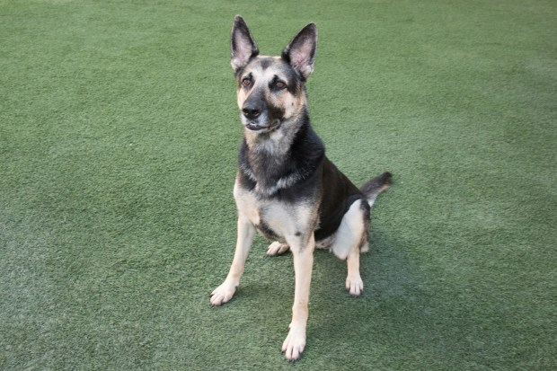 PET OF THE WEEK: Gigi is a beautiful German Shepherd who can't wait to find her forever home. She's a smart, high-energy dog who loves to play fetch more than anything. Gigi is looking for an active, experienced family, with no small children, that can make sure she gets all the play and exercise she needs. Ask for ID# A827103. Adoptable pets are available at Peninsula Humane Society & SPCA's Tom and Annette Lantos Center for Compassion, 1450 Rollins Road, Burlingame. For information, call 650-340-7022 or visit www.phs-spca.org. (Chuck Pitkofsky / Peninsula Humane Society)