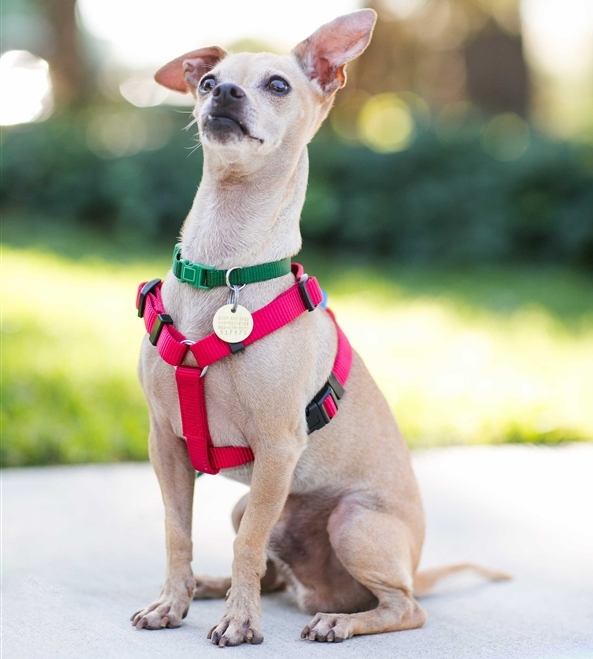 Sergeant Pepper, a maleChihuahua who's about 3 years old, is the East Bay SPCA's pet of the week.