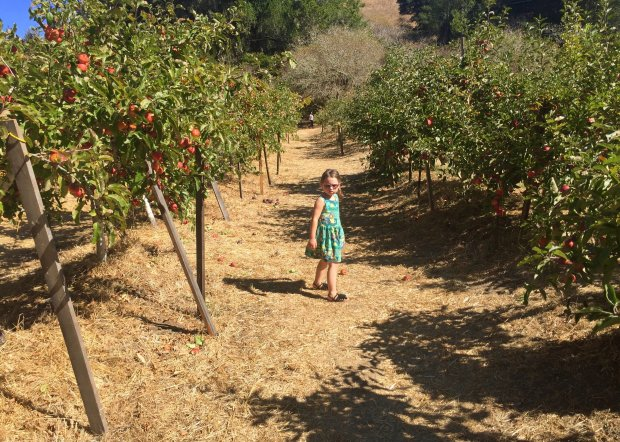 The Swanton Pacific Ranch near Davenport gives families a chance to picktheir own apples from the Cal Poly-owned orchards. (Courtesy Amber Turpin)