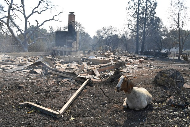 A goat rests near the charred remains of a home on Shady Oaks Drive destroyed by the Atlas Peak Fire in Napa, Calif. on Monday, Oct. 9, 2017. (Jose Carlos Fajardo/Bay Area News Group)