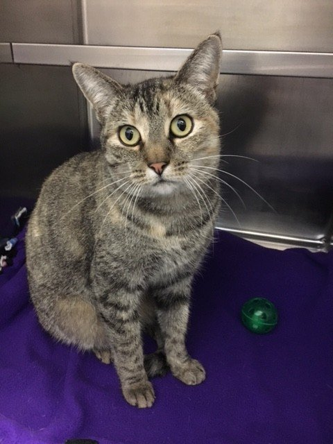 Viera is a 6-year-old female brown tabby. Viera is a very sweet girl wholoves cuddles and enjoys playing with toy mice. Her adoption number is A125951.The shelter's featured pets, and many other animals, are available from Antioch Animal Services, 300 L St. The center is open from 10 a.m. to 5 p.m. Tuesday, Wednesday, Thursday; 10 a.m. to 2 p.m. Friday; and 10 a.m. to 5 p.m. Saturday. All of the pets from the center can be viewed at www.shelterme.com. Call 925-779-6989 . COURTESY CAT COTTLE
