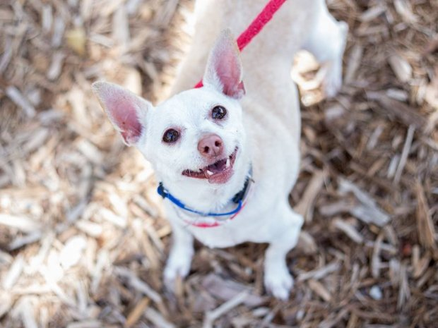 Apple Pie is the Humane Society Pet of the Week for Nov. 17(Courtesy of Contra Costa Humane Society)