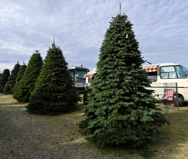 Large Christmas Trees Wait To Be Purchased At Santas Winter Forest Christmas Tree Lot In Brentwood Calif On Friday Nov