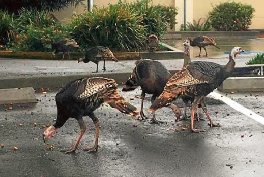 Wild turkeys browse for acorns in the parking lot of 4000 Civic Center Drive in San Rafael. (Photo by Sharon Moraes)
