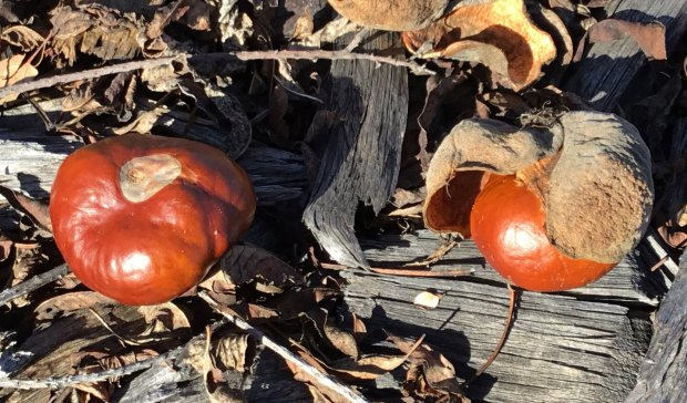 Toxic horse chestnuts from Jeanette and Joseph's California buckeye tree(Aesculus californica). (Courtesy of Patrice Hanlon)