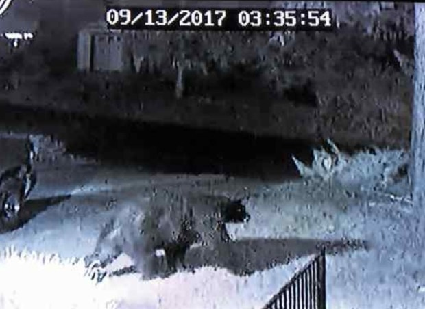 A large bear caught on camera prowling a Magalia property in September. To this newspaper's knowledge, this bear is not connected to the bears tested for plague by the state. (Courtesy of Dan Roskopf)