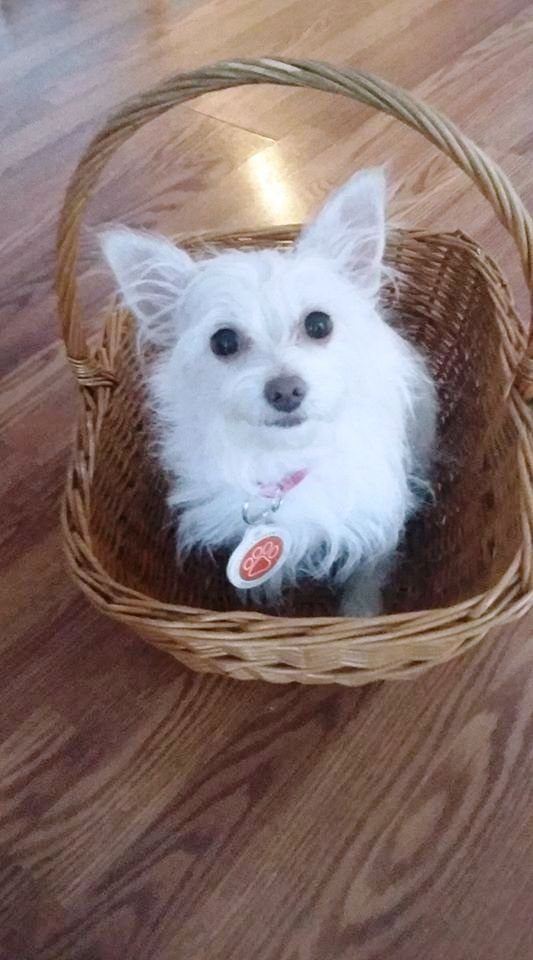Toto is the Humane Society Pet of the Week for Dec. 15.(Courtesy of Contra Costa Humane Society)