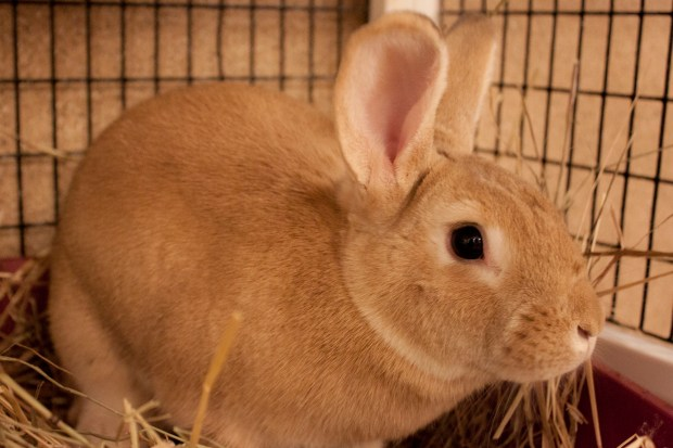 PET OF THE WEEK: Amber is a curious and sweet female shorthaired rabbit who quickly warms up to people. If you're looking for a fun new friend to spend 2018 and beyond with, look no further! Amber is sure to bring you lots of joy as she explores the world and nudges you for bunny pets. Ask for Amber, ID# A830375. Adoptable pets are available at Peninsula Humane Society & SPCA's Tom and Annette Lantos Center for Compassion, 1450 Rollins Road, Burlingame. For information, call 650-340-7022 or visit www.phs-spca.org. (Thelma Andree / Peninsula Humane Society)