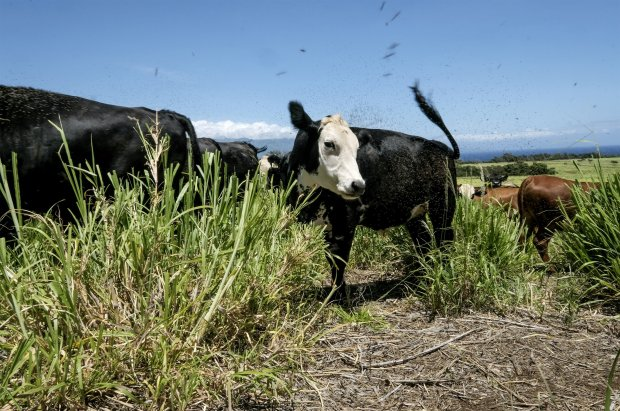 Cows graze on land in Hawaii that was once dominated by sugar cane. MUSTCREDIT: Washington Post photo by Bonnie Jo Mount