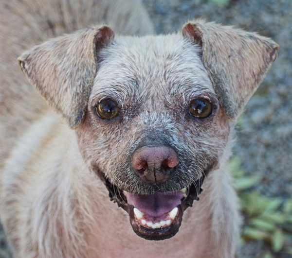 Ragamuffin, a maleChihuahua who's about 6 years old, is the East Bay SPCA's pet of the week.