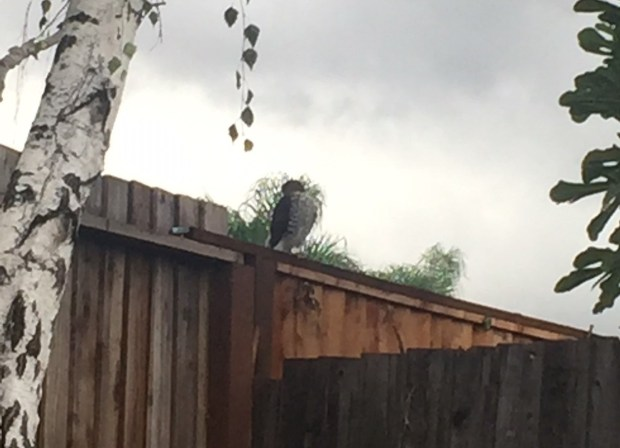 Owl or a Cooper's hawk? (Reader submitted)