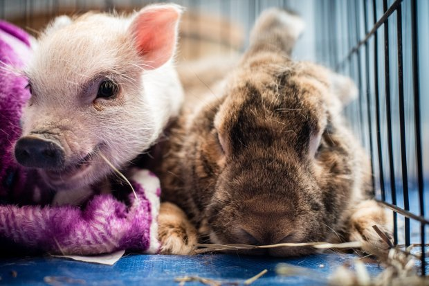 Teacup pig Thumbelina and Mr. Ears, a Flemish giant rabbit, hang outtogether in their enclosure at Nest DC. MUST CREDIT: Photo for The Washington Post by Andre Chung
