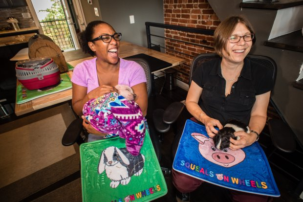 Rhianna Campbell, left, chief operating officer of property managementcompany Nest DC, and company owner Lisa Wise hold Thumbelina, the teacup pig, and Bobby, the American shorthair guinea pig. MUST CREDIT: Photo for The Washington Post by Andre Chung