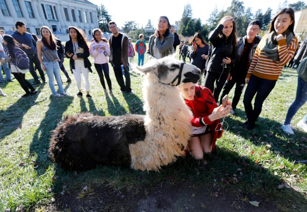 "Students gather around Tombo as Alexa Shirzad takes a selfie with the sting llama in Memorial Grove on the UC Berkeley campus in Berkeley, Calif., on Monday, Dec. 4, 2017. This is the seventh semester that the ASUC brought the llamas to the campus during ""dead week"" the week before finals, to help students de-stress. (Laura A. Oda/Bay Area News Group)"