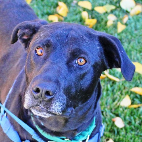 Ruby Tuesday is the ARF Pet of the Week for Feb. 2.(Courtesy of ARF)