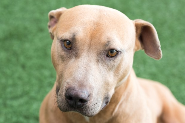 PET OF THE WEEK: Pumpkin is the sweetest and most scrumptious little pit bull. She can be a little timid at first, but warms up once she gets to know someone. This 3-year-old girl loves to play and loves to relax in equal measures. Ask for Pumpkin ID# A835866. Adoptable pets are available at Peninsula Humane Society & SPCA Tom and Annette Lantos Center for Compassion, 1450 Rollins Road, Burlingame. For information, call 650-340-7022 or visit www.phs-spca.org. (Chuck Pitkofsky / Peninsula Humane Society)