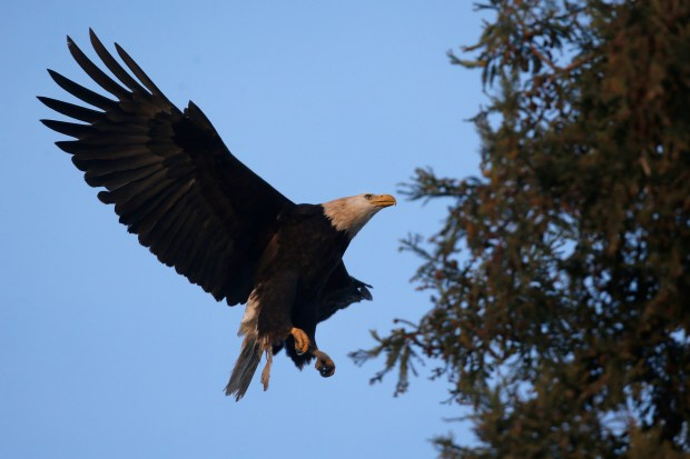 A bald eagle approaches a redwood tree at Curtner Elementary School on Saturday, Jan. 13, 2018, in Milpitas, Calif. (Jim Gensheimer/Bay Area News Group)